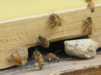 Bees-pollen sacks