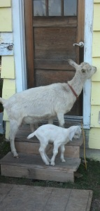 0-Goats knocking 2013-03